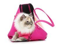 Beautiful birma cat in pink pullover. Beautiful long fur birma cat wearing pink pullover sitting in big bag.  on white. studio shot. copy space Stock Photo