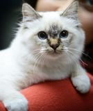 Beautiful Birman Cat Royalty Free Stock Image