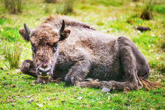Beautiful bison Royalty Free Stock Photo
