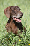 Beautiful bitch of German Shorthaired Pointer Stock Image