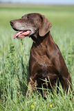 Beautiful bitch of German Shorthaired Pointer Stock Photography