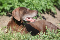 Beautiful bitch of German Shorthaired Pointer Stock Photo