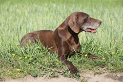Beautiful bitch of German Shorthaired Pointer Royalty Free Stock Photography