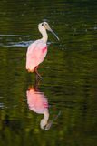Beautiful and Bizarre Roseate Spoonbill Stock Image
