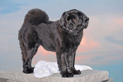 Beautiful Black Dog Stock Photography