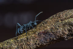Beautiful black ant. Polyrhachis armata, beautiful black ant on branch Royalty Free Stock Photos
