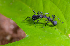 Beautiful black ants. Polyrhachis armata, beautiful black ants on leaves Stock Photography