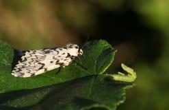A beautiful Black Arches Moth Lymantria monacha perching on a leaf. Stock Image