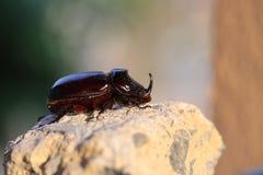 Beautiful black beetle Rhino Stock Image