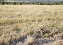 A beautiful Black-Bellied Bustard in the grassland Royalty Free Stock Image