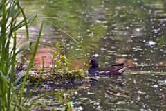 Beautiful black bird water hen in a swampy pond Royalty Free Stock Photos