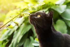 Black cat sniffs grass and plants outdoors in nature. Beautiful black bombey cat sniffs grass and plants outdoors in nature in sunlight stock images