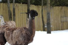 A beautiful black and brown lama. In the snow on a warm winter day royalty free stock image