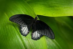 Beautiful black butterfly, Great Mormon, Papilio memnon, resting on the green branch. Wildlife scene from nature. Stock Images