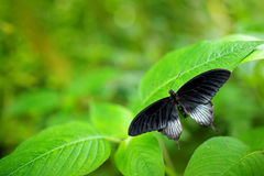 Beautiful black butterfly, Great Mormon, Papilio memnon, resting on the green branch. Wildlife scene from nature. Green vegetation. Indonesia royalty free stock image