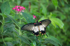 Beautiful black butterfly on pink flowers in a garden Royalty Free Stock Image