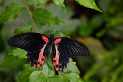 Beautiful black butterfly, Scarlet Mormon or Red Mormon, Papilio rumanzovia Stock Photography