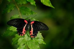 Beautiful black butterfly, Scarlet or Red Mormon, Papilio rumanzovia. Big and colourful insect on the green branch. India, Asia royalty free stock images