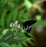 Beautiful black butterfly with white pattern on wings, close-up. Beautiful black butterfly with white pattern on wings. Close-up about a butterfly on a white royalty free stock photography