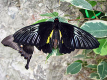 Beautiful black butterflys about a stone Royalty Free Stock Images
