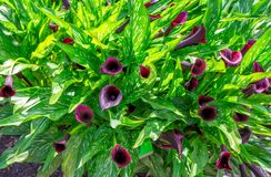 Beautiful black calla lily. Or arum lily flowers with bright green leaves, growing in the garden Stock Photography