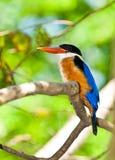 Beautiful Black-capped Kingfisher bird Royalty Free Stock Photos