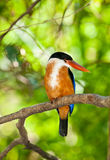 Beautiful Black-capped Kingfisher bird Royalty Free Stock Photography