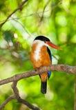 Beautiful Black-capped Kingfisher bird Royalty Free Stock Photography