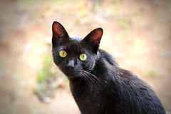 Beautiful black cat with expressive hazel eyes staring. At the camera royalty free stock photography