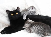 Black cat with kittens. Beautiful black cat with kittens Stock Photography