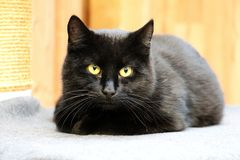 Beautiful black cat is lying on the scratching post and looking to the camera royalty free stock photography