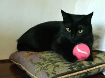 Beautiful black cat on a pillow with a pink ball. The cat has big yellow eyes royalty free stock photography
