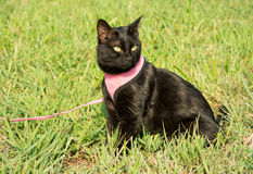 Beautiful black cat in pink harness and leash Royalty Free Stock Photography