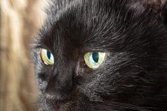 Beautiful black cat Royalty Free Stock Photos
