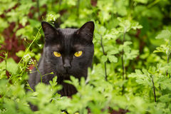 Beautiful black cat portrait with yellow eyes and attentive serious look in green grass and flowers in nature closeup. Beautiful bombay black cat portrait with stock images