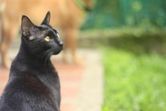 A beautiful black cat with yellow eyes. A beautiful black cat, rescued from the street. Adopt dont shop Stock Photography