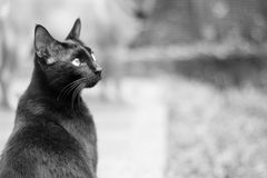 A black cat in black and white color. A beautiful black cat, rescued from the street. Adopt dont shop Royalty Free Stock Image