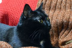 Beautiful black cat resting among wool scarves. Bright eyes, cozy place royalty free stock photography