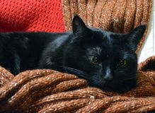 Beautiful black cat resting among wool scarves. Bright eyes, cozy place royalty free stock photo