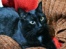 Beautiful black cat resting among wool scarves. Bright eyes, cozy place stock image