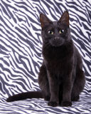 Beautiful black cat sitting against a zebra striped background Royalty Free Stock Photography