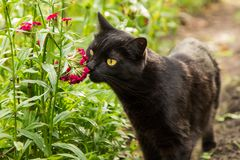 Beautiful black cat sniffing flowers in the garden. Summer, outdoors, nature royalty free stock photos