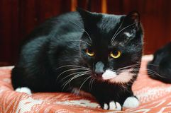 Beautiful black cat with white mustache and yellow eyes. Close-up royalty free stock photo