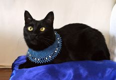 Beautiful black cat with yellow eyes on a blue pillow. The necklace of the cat wears a beaded necklace royalty free stock image