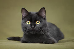 Beautiful black cat with yellow eyes. Lying on blanket Stock Images