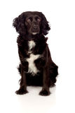 Beautiful black Cocker Spaniel Stock Images