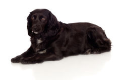 Beautiful black Cocker Spaniel Royalty Free Stock Images
