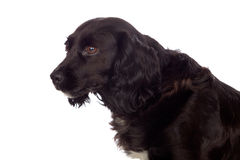 Beautiful black Cocker Spaniel Royalty Free Stock Photo