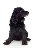 Beautiful black Cocker Spaniel Stock Photos