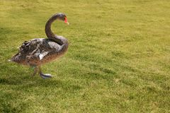 Beautiful black colored swan having a stroll Stock Images